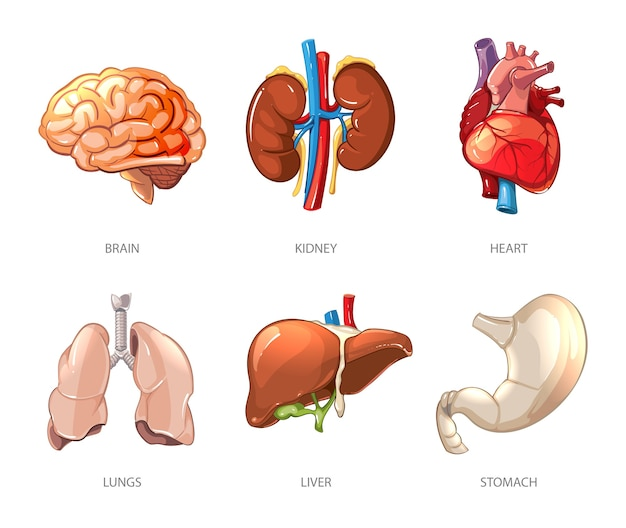 Human internal organs anatomy in cartoon vector style. brain and kidney, liver and lung, stomach and heart illustration Free Vector