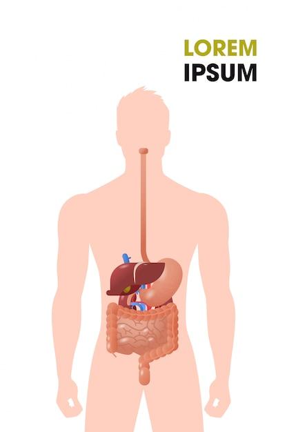 인간의 내부 장기 위장관 구조 소화 시스템 의료 포스터 초상화 평평한 수직 복사 공간 프리미엄 벡터