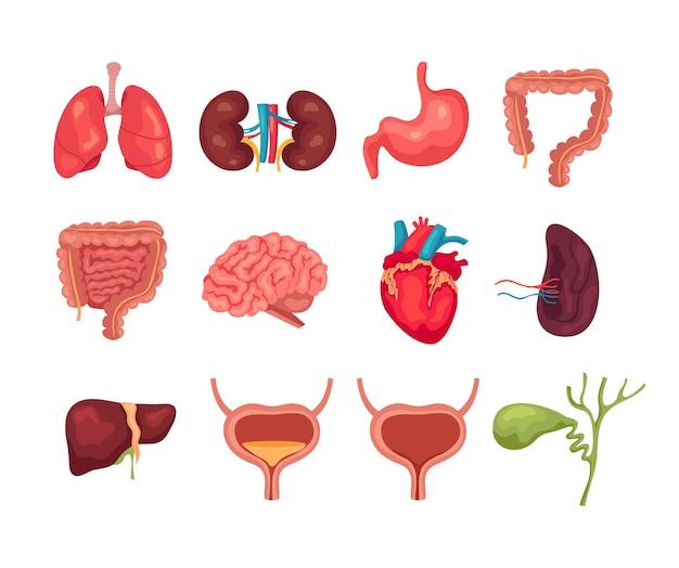 Коллекции изолированных наборов внутренних органов человека. Premium векторы