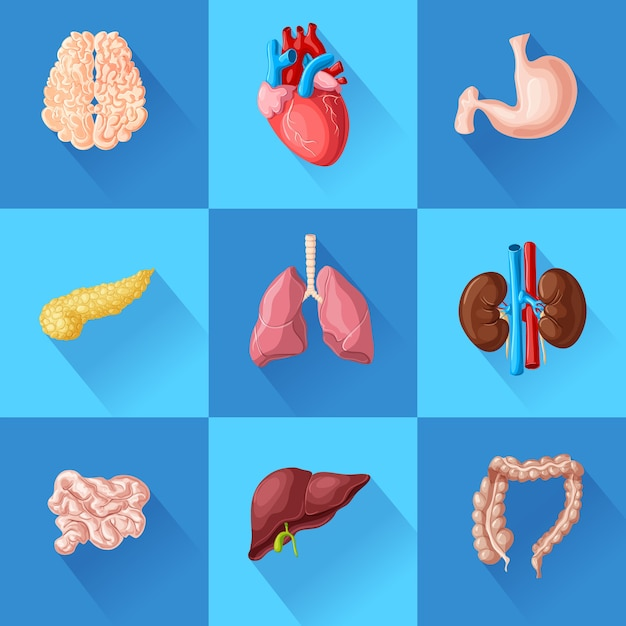 Human internal organs set with brain heart stomach pancreas intestines lungs kidneys and liver isolated Free Vector