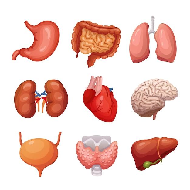 Человеческие внутренние органы. желудок и легкие, почки и сердце, мозг и печень. Premium векторы