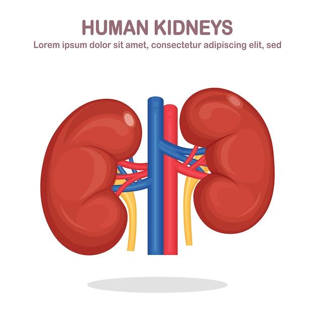 Человеческие почки с артерией и веной, изолированные на белом фоне. анатомия внутренних органов, медицина. плоский дизайн Premium векторы