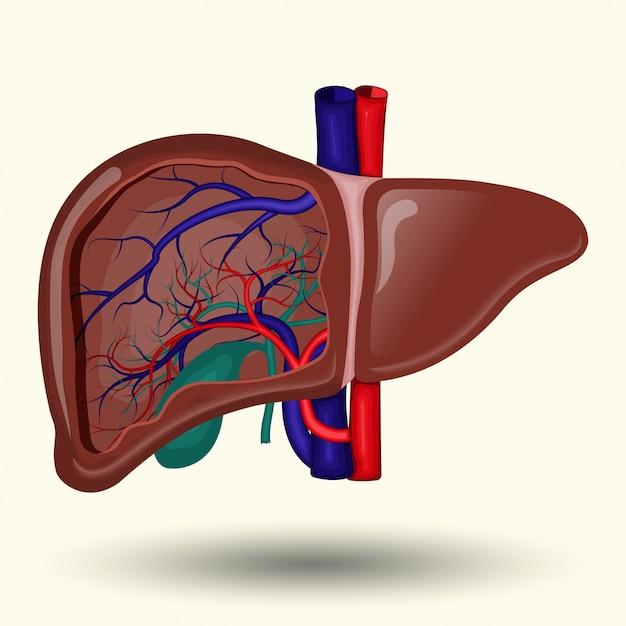 人間の肝臓のサイン、白い背景、人間の肝臓のアイコンに人間の肝臓 Premiumベクター