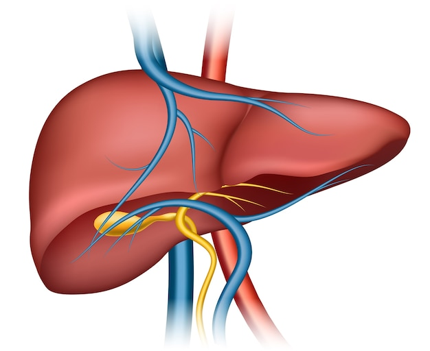 Human liver structure. organ human, medical science, health internal Free Vector