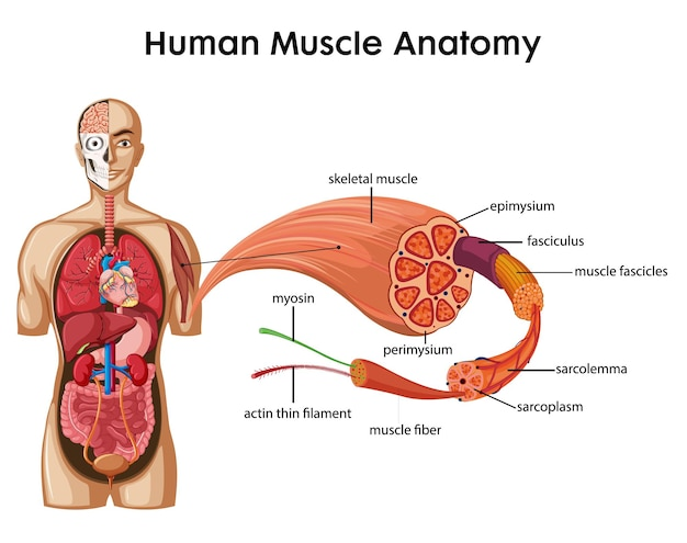 Human muscle anatomy with body anatomy Free Vector