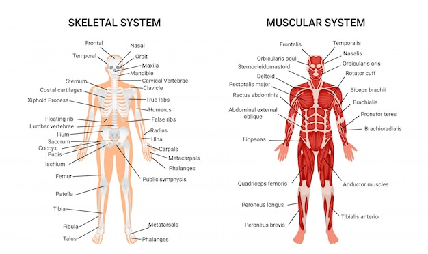Human muscular skeletal systems, informative poster Free Vector