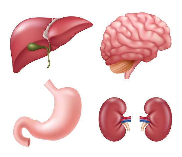 Человеческие органы. сердце почки печень глаза мозг желудок образовательные медицинские реалистичные анатомические картинки Premium векторы