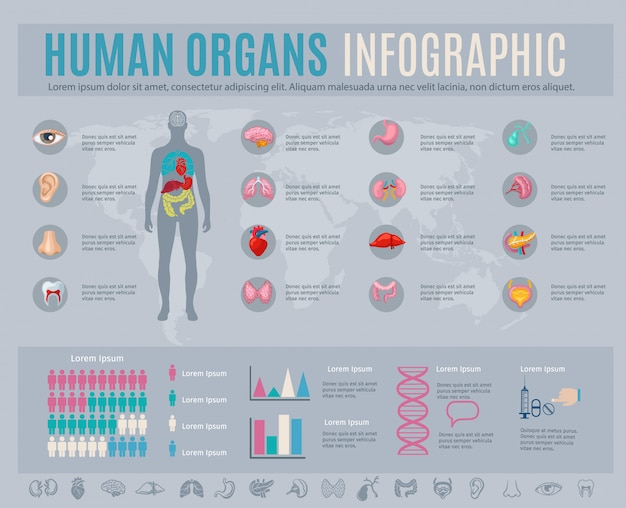 Human organs infographic set with internal body parts symbols and charts Free Vector