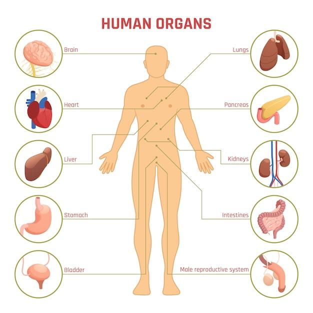 인간의 장기 인포 그래픽 무료 벡터