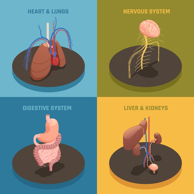 Human organs isometric composition Free Vector