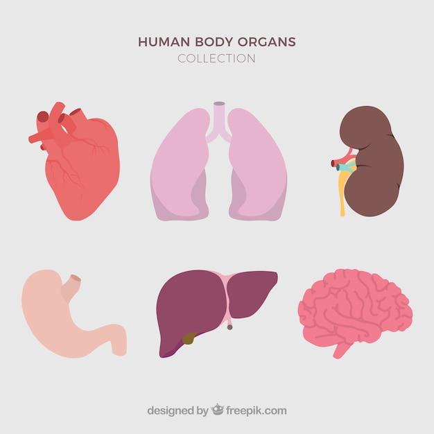 Human organs Free Vector