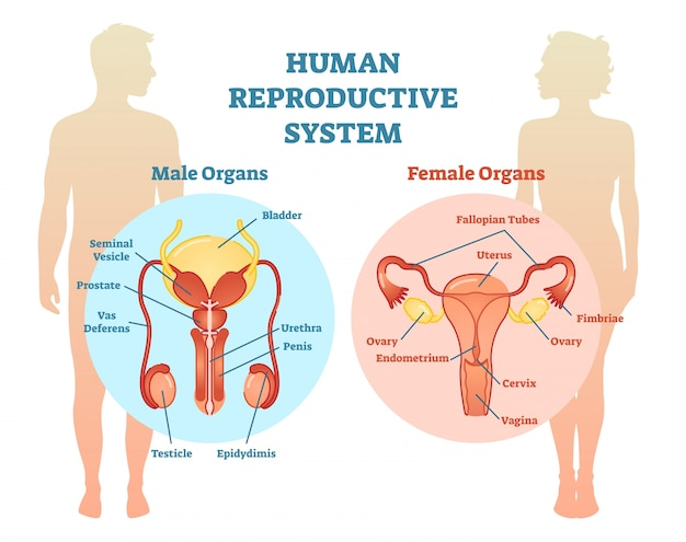 Human Reproductive System Vector Illustration Diagram. Vector ...