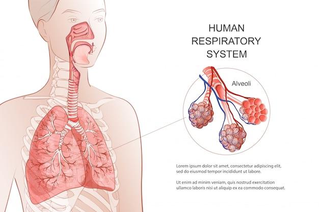 Human Respiratory System Lungs Alveoli Medical Diagram Inside