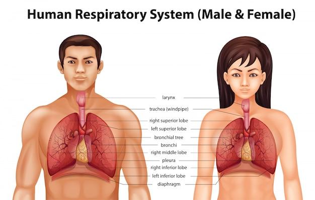 Human respiratory system Premium Vector