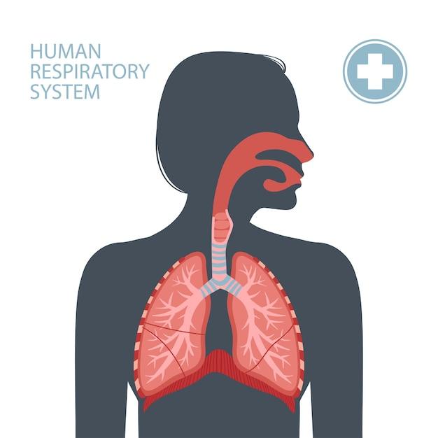 Human respiratory system. Premium Vector