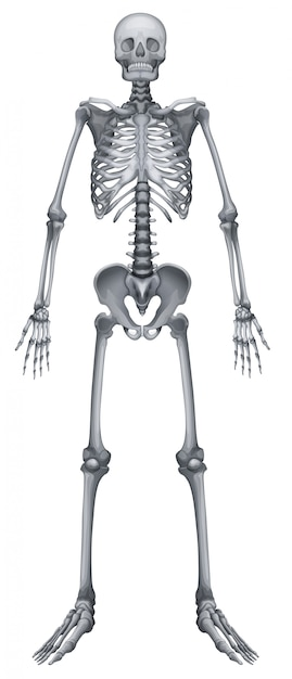 Sistema scheletrico umano Vettore gratuito