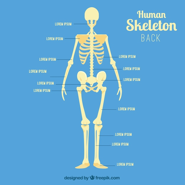Human Skeleton Back Vector Free Download