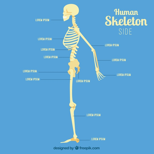 human skeleton profile vector | free download, Skeleton