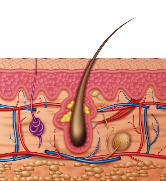 Анатомия кожи человека крест крупным планом вид сбоку Premium векторы
