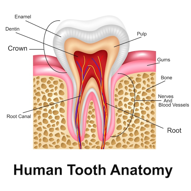 Human Tooth Detailed Anatomy Vector | Premium Download