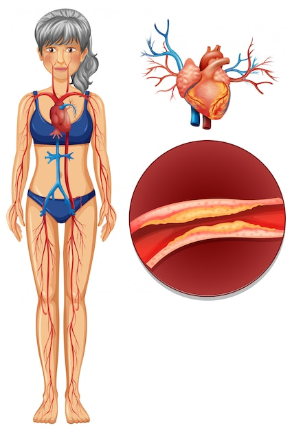 A the human vascular system Premium Vector