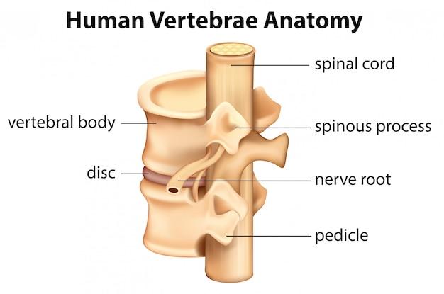 Human vertebrae anatomy Free Vector