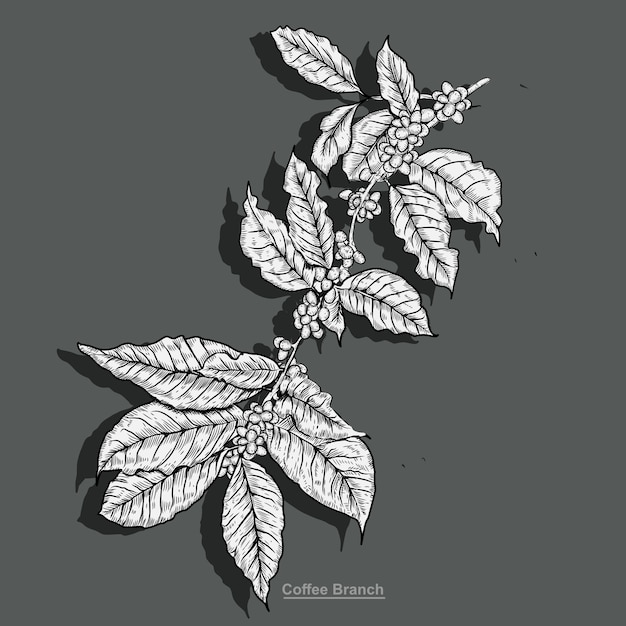 Illustration of branch coffee with engraving style Premium Vector