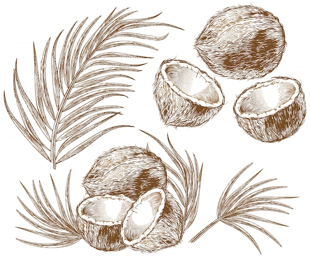 Illustration of coconut and palm leaves Free Vector