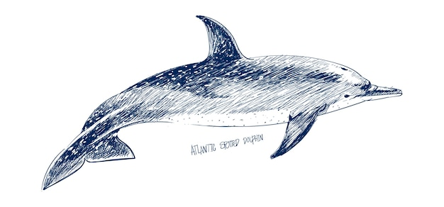 Illustration drawing style of atlantic dotted dolphin Premium Vector