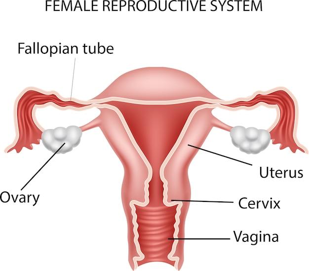Illustration of female reproductive system Premium Vector