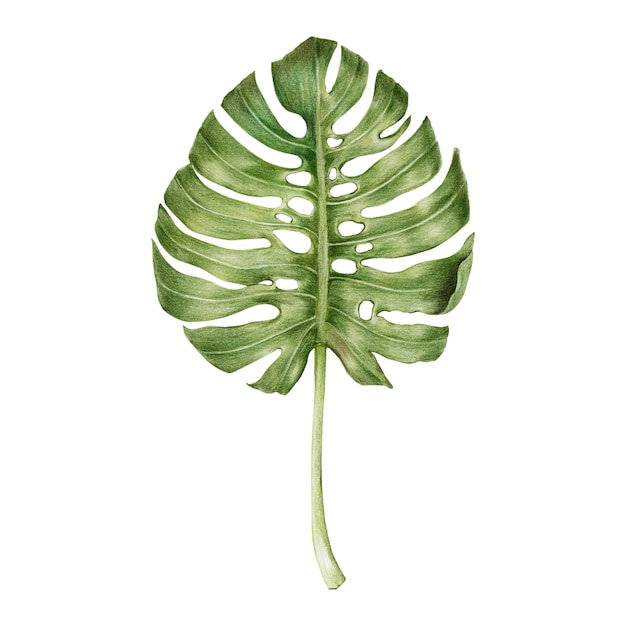 Illustration of green leaf watercolor style Free Vector