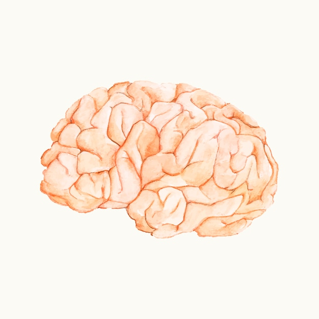Illustration of a human brain Free Vector
