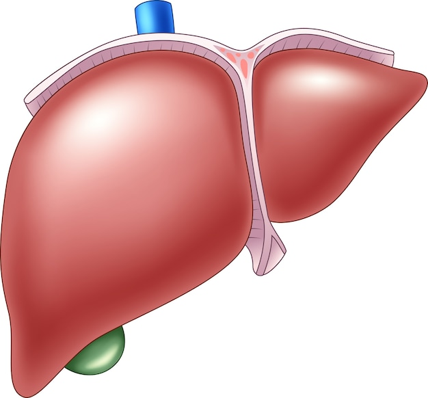 Illustration of human liver anatomy Premium Vector