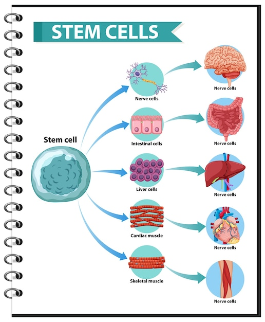Illustration of the human stem cell applications on a white background Free Vector