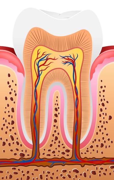 Illustration of human tooth anatomy Premium Vector