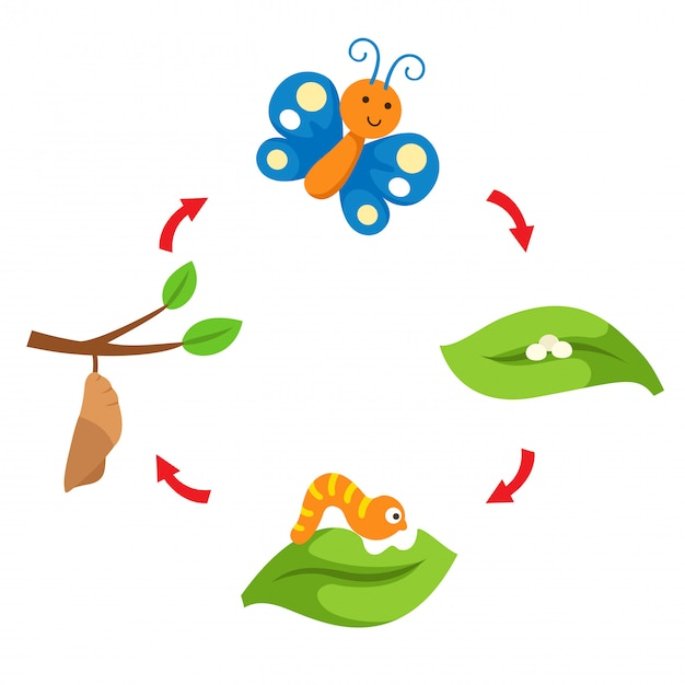 Illustration life cycle butterfly vector Premium Vector