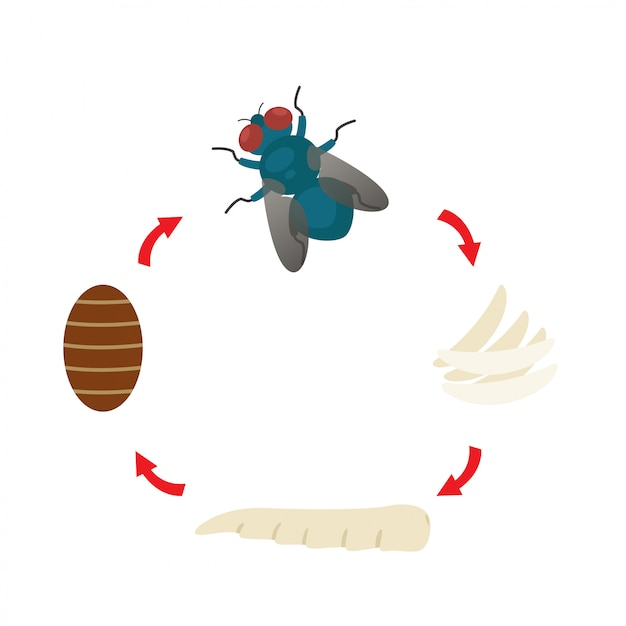 Illustration life cycle  housefly vector Premium Vector