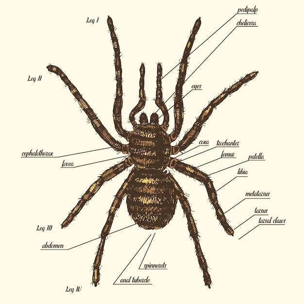 Иллюстрации анатомии паука включают все названия частей животных. birdeater видов в стиле рисованной или гравировкой. арахнология Premium векторы