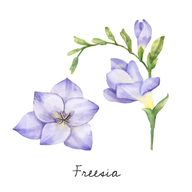 白い背景に隔離されたfreesiaの花のイラスト。 無料ベクター