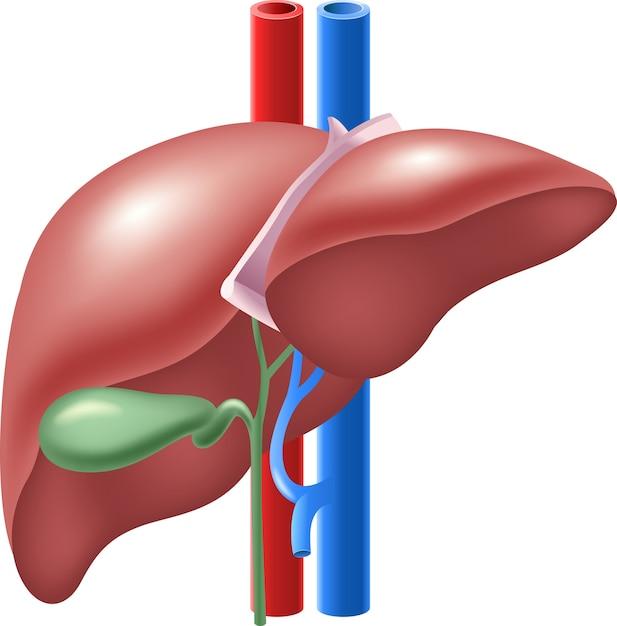Illustration Of Human Liver And Gallbladder Vector Premium Download