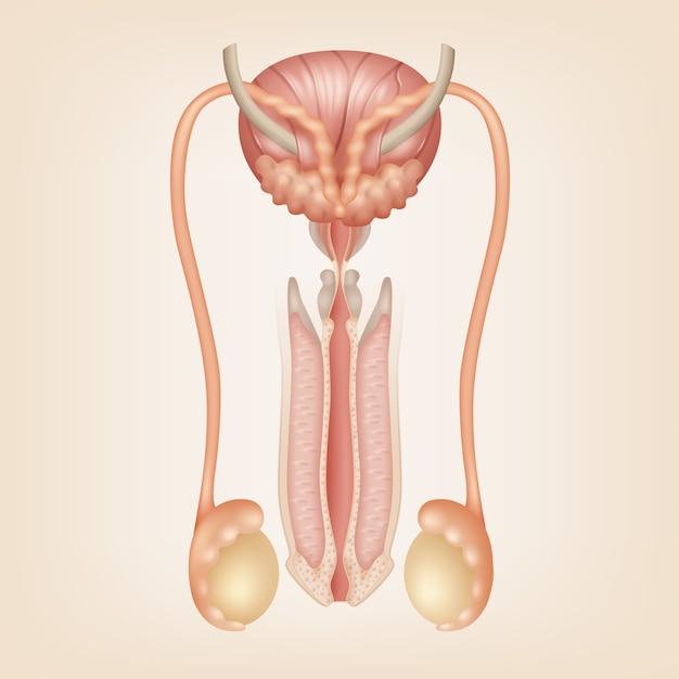 Иллюстрация мужской репродуктивной системы Premium векторы