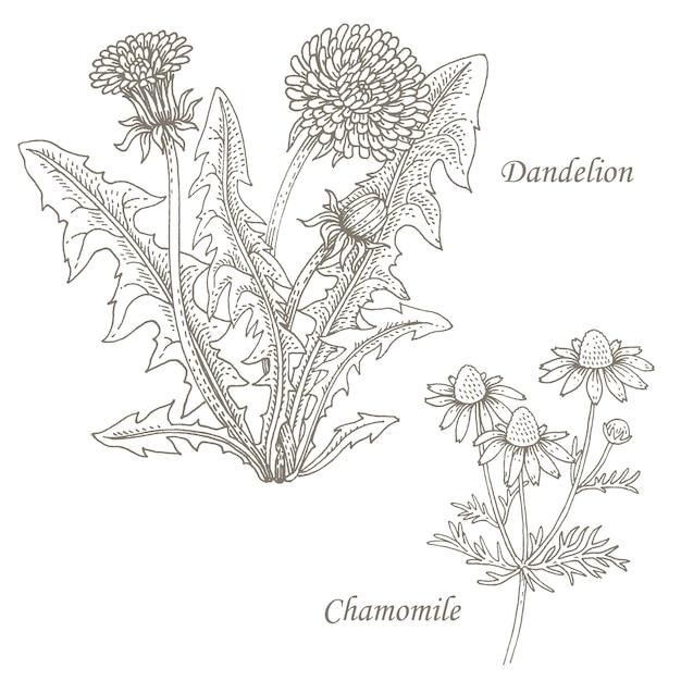 Иллюстрация лекарственных трав одуванчика, ромашки. Premium векторы