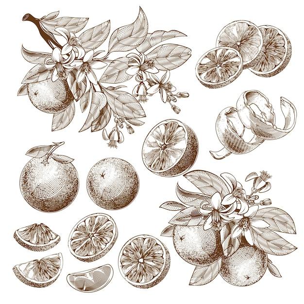 오렌지 과일, 개화 꽃, 잎 및 가지 빈티지 흑백 드로잉의 그림. 무료 벡터