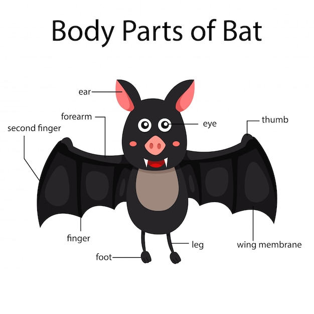 Illustrator of body parts of bat Premium Vector