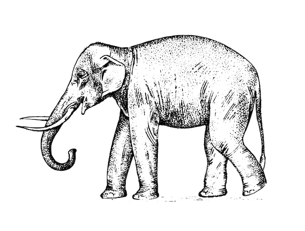 Indian elephant. wild animal in warm country. engraved hand drawn realistic in old sketch, vintage style. Premium Vector