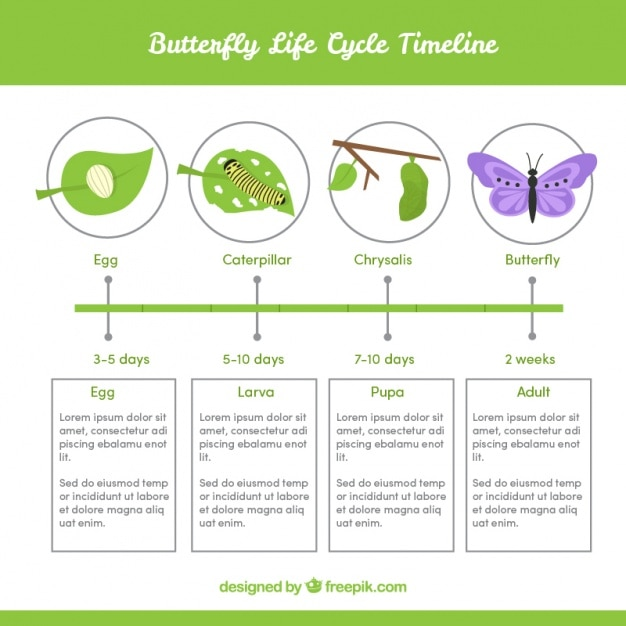 Infographic about butterfly life cycle Free Vector