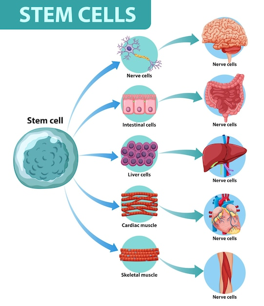 Information poster on human stem cells Free Vector
