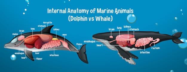 海洋動物の内部解剖学(イルカvsクジラ) 無料ベクター