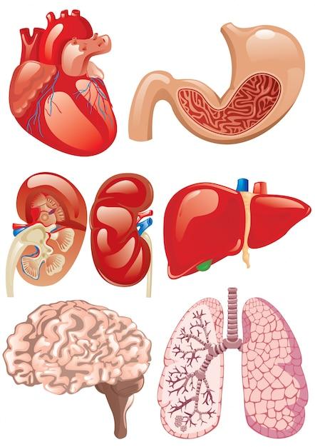 Internal Organs Set Vector Premium Download