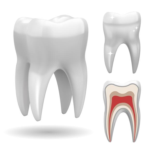 孤立した三次元の歯、フロントバージョンとカットバージョン 無料ベクター